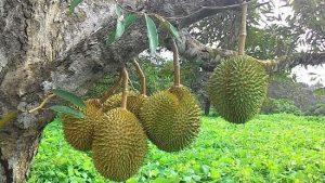 durian-farm-johor